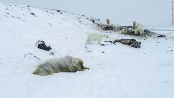 Đám đông gấu Bắc cực xuất hiện ở một ngôi làng.