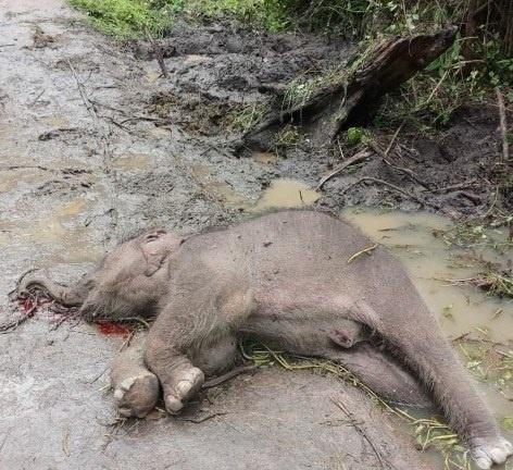 Đắk Lắk: Voi rừng 15 tháng tuổi chết trong vườn Quốc gia Yók Đôn