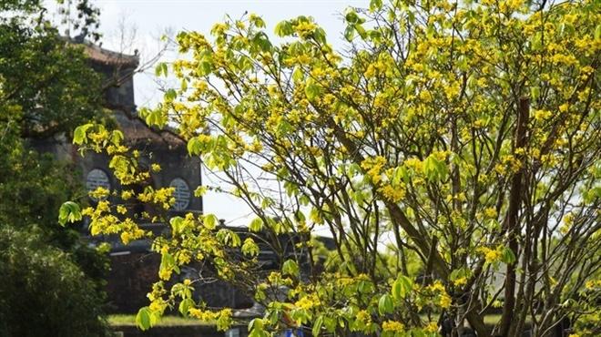 Thừa Thiên Huế hướng tới trở thành xứ sở mai vàng của Việt Nam
