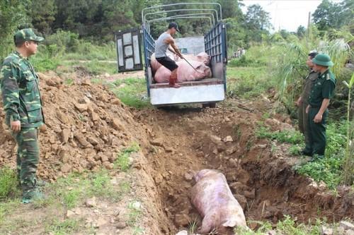 Phát hiện 2 ổ dịch tả lợn châu Phi ở hai tỉnh Hưng Yên và Thái Bình