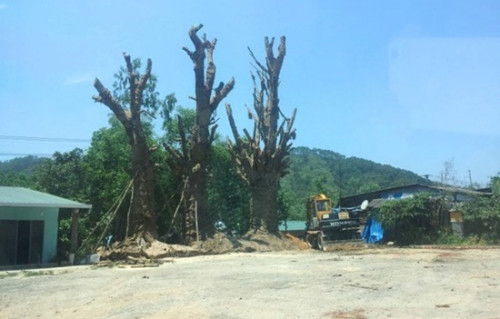 Trồng tạm 3 cây 'khủng' bên vệ đường sau 3 tuần bị 'kẹt' tại Thừa Thiên - Huế