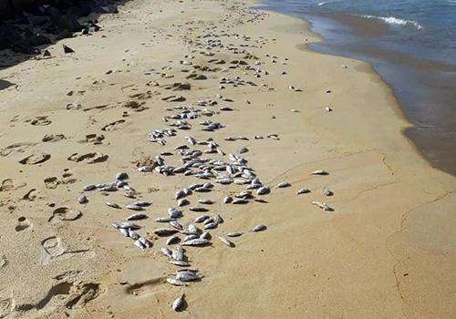 Đà Nẵng: Phát hiện gần 2 tấn cá mòi chết trôi dạt vào bờ biển