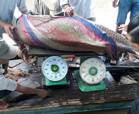 Ngư dân Vĩnh Long bắt được cá hô vàng nặng 125kg, bán được hơn 300 triệu đồng