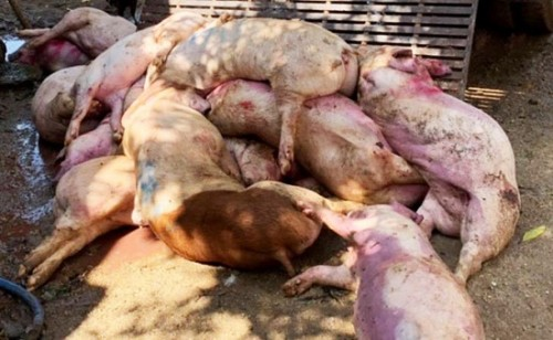 Đồng Nai: Kịp thời ngăn chặn 3,2 tấn thịt heo nhiễm bệnh chuẩn bị đưa ra thị trường
