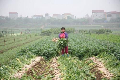 Hà Nội: Nông dân ngậm ngùi vứt bỏ hàng trăm tấn củ cải trắng vì không bán được
