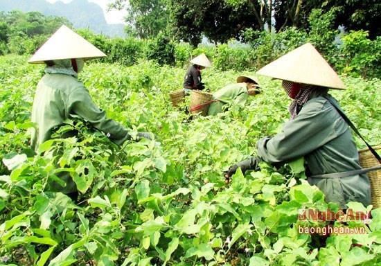 Nghệ An: Tăng gấp đôi năng suất nhờ trồng cà pháo phủ nylon