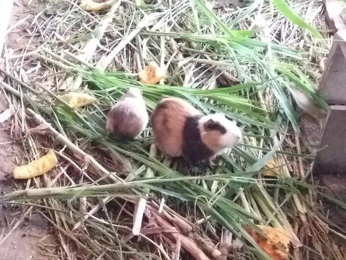 Nghệ An: Thu nhập ổn định nhờ nuôi chuột lang