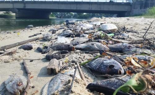 Đang xác định nguyên nhân cá chết hàng loạt dọc bờ biển Đà Nẵng