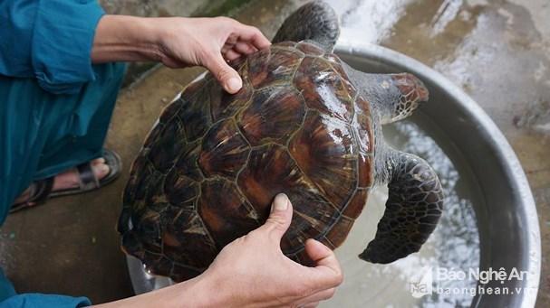 Ngư dân Nghệ An giải cứu rùa biển quý hiếm