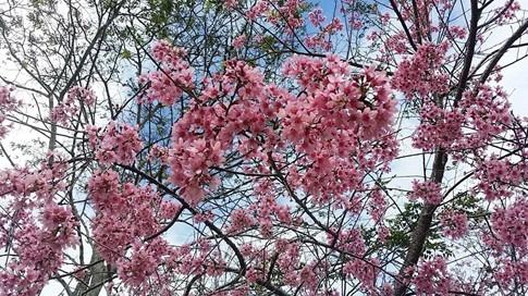 Đà Lạt công bố thời gian tổ chức ngày hội hoa anh đào