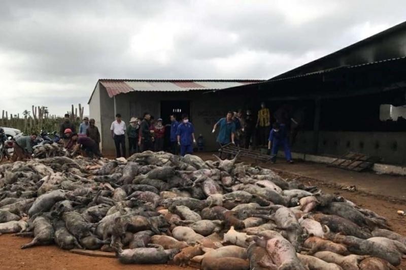 Cháy trang trại ở Đắk Nông, 1.200 con lợn bị chết