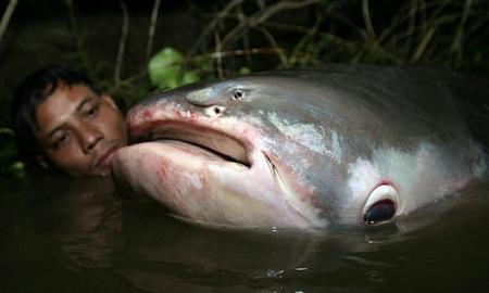 Các loài cá nước ngọt lớn đối diện nguy cơ tuyệt chủng