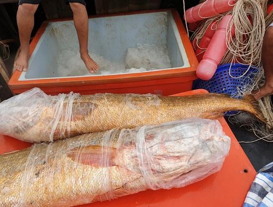 Cà Mau: Ngư dân bắt được 2 con cá nặng khoảng 70kg, nghi là cá sủ vàng quý hiếm