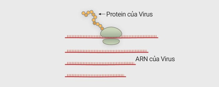 virus corona tan cong te bao nguoi nhu the nao