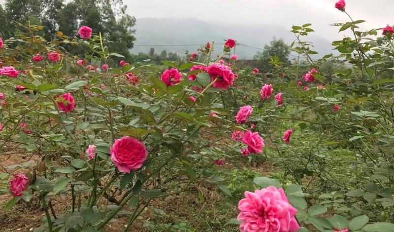 Làm giàu từ mô hinh trồng hoa hồng  cổ của một phụ nữ ở quê hương Bác Hồ