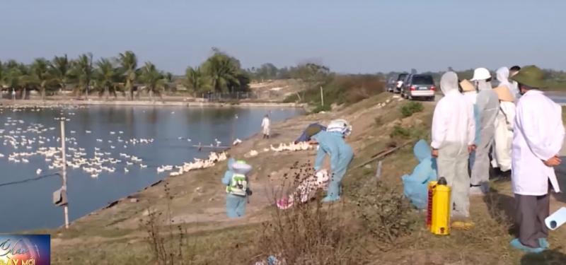 Hải Phòng: Tiêu hủy gần 7.000 con vịt bị nhiễm cúm A/H5N6