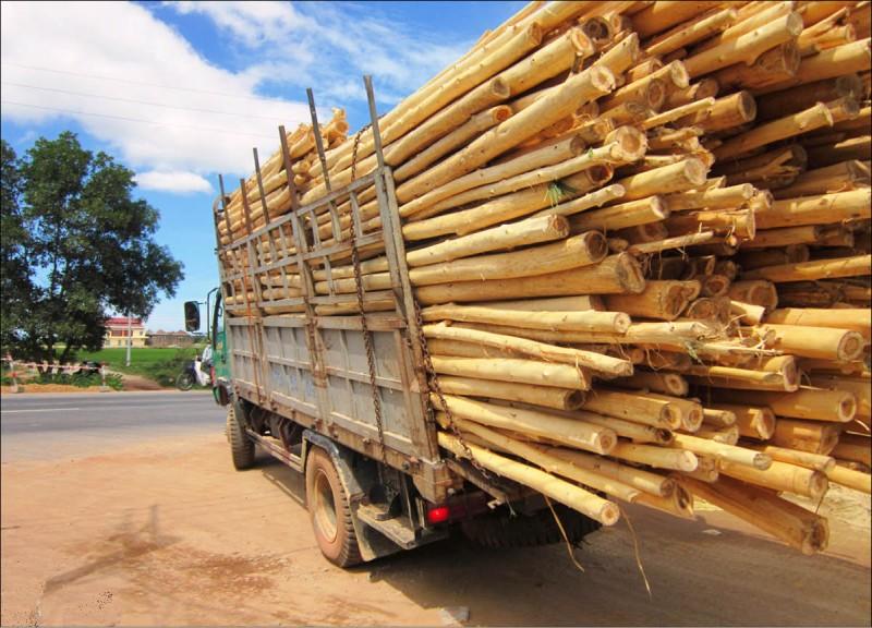 Quảng Ngãi: Chấn chỉnh hoạt động thu mua gỗ keo tự phát
