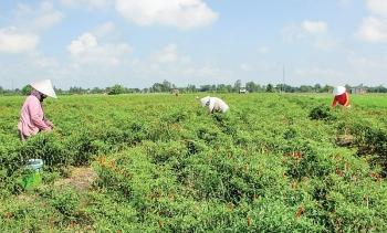 Quảng Ngãi: Vừa vào vụ, ớt rơi giá thê thảm