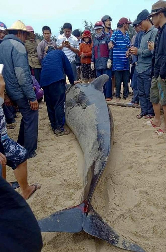 Quảng Ngãi: Ngư dân nổ lực giải cứu cá voi hơn nữa tấn mắc cạn nhưng bất thành
