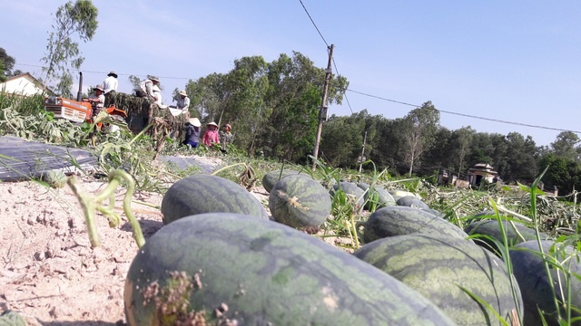Quảng Ngãi: Huyện Bình Sơn phát thư ngỏ kêu gọi 'giải cứu' nông sản