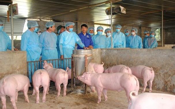 Quảng Ngãi: Bố trí hơn 41 tỷ đồng hỗ trợ thiệt hại do dịch tả lợn châu Phi
