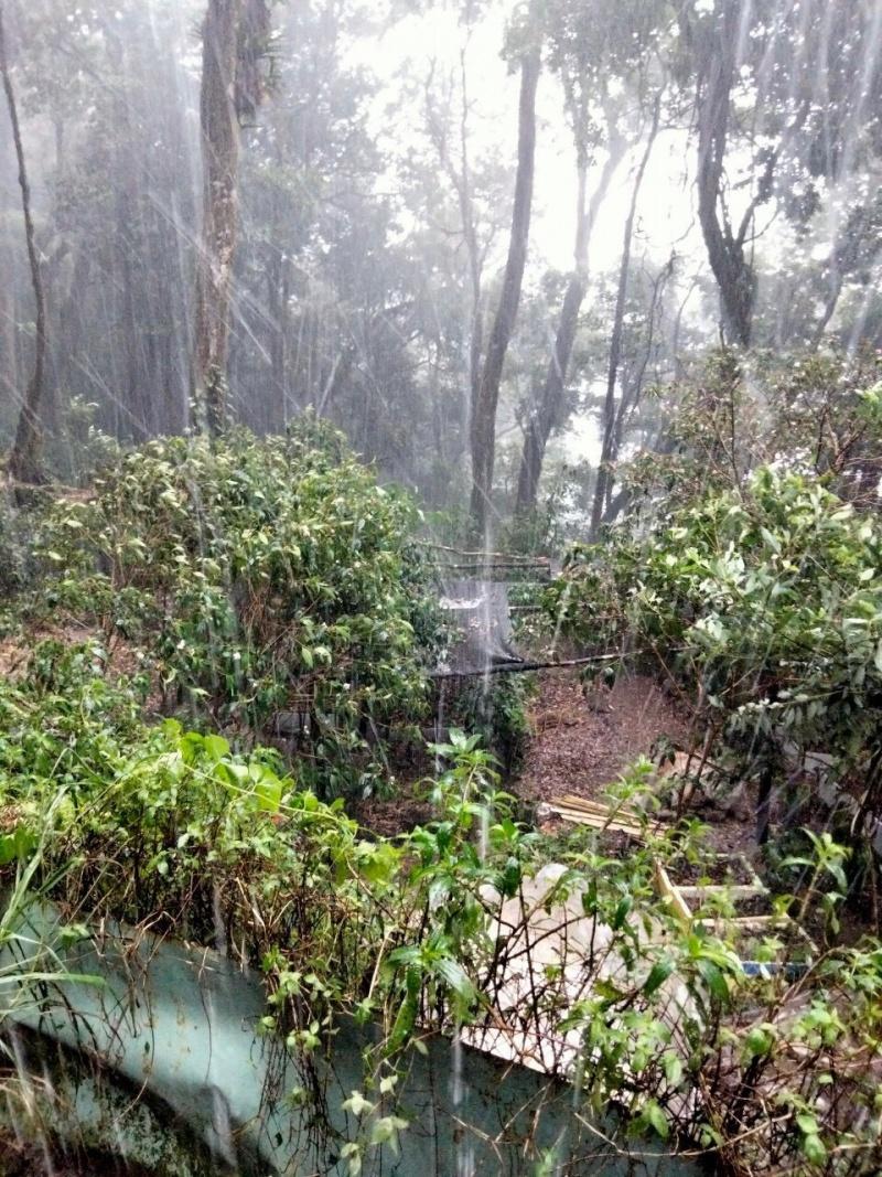 Quảng Nam: Mưa đá kéo dài phá hỏng nhiều vườn sâm Ngọc Linh
