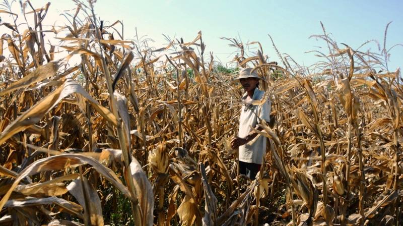 Quảng Ngãi : Nắng hạn kéo dài, ngành nông nghiệp điêu đứng