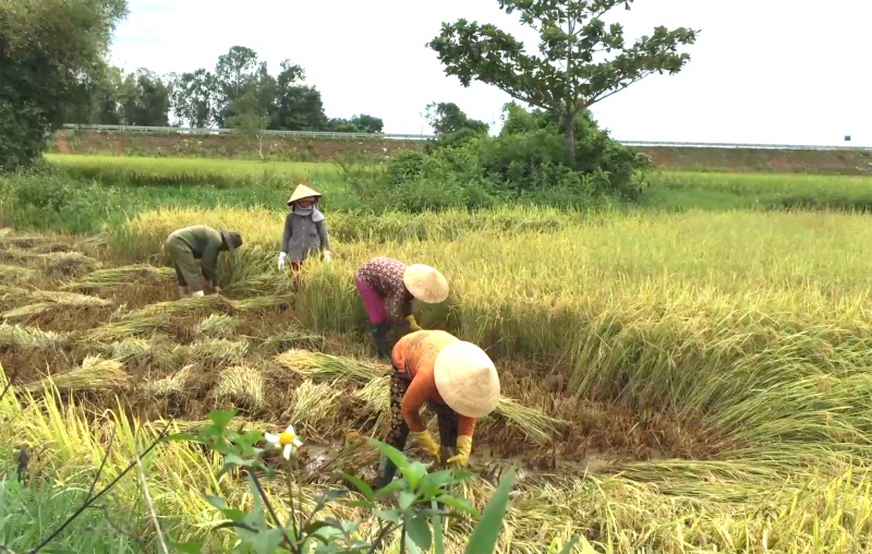 Quảng Ngãi: Năng suất lúa vụ hè thu sụt giảm do ảnh hưởng mưa bão