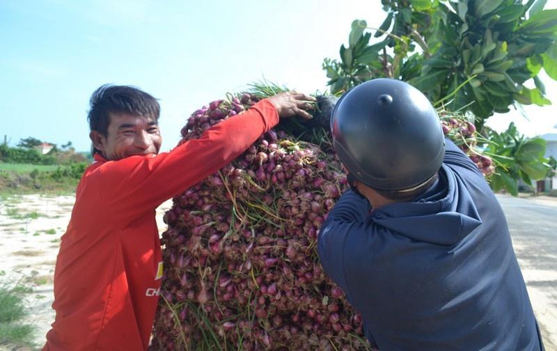 Quảng Ngãi: Người dân Lý Sơn được mùa hành