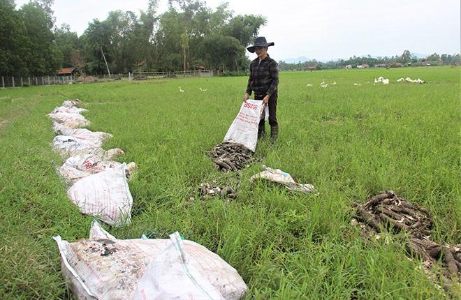 Quảng Nam: Sắn được mùa nhưng nông dân lại phải mang đi đổ
