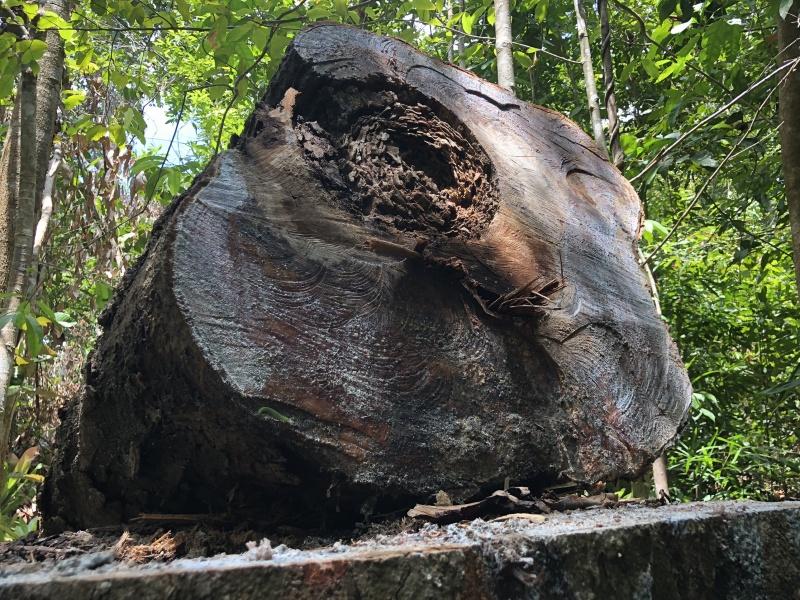 Quảng Ngãi: Chủ tịch UBND tỉnh yêu cầu kiểm tra vụ rừng phòng hộ bị phá