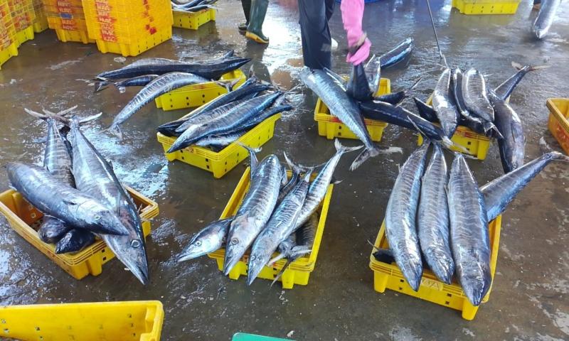 Quảng Ngãi: Cá vào bờ