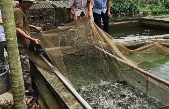 Thái Bình: Lão nông kiếm tiền tỷ từ nuôi cá rô đồng