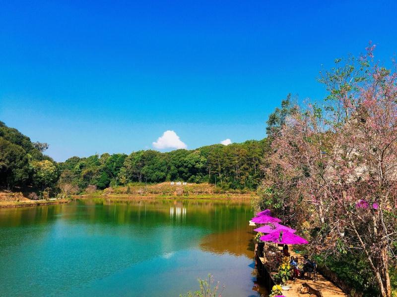 Kon Tum: Lên Măng Đen ngắm mai anh đào nhuộm hồng hồ Đăk Ke