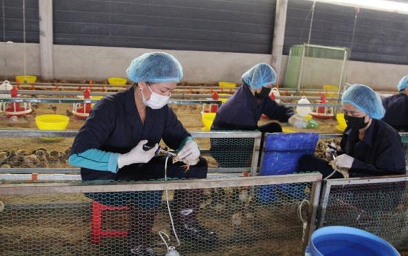 Đắk Lắk: Ngăn chặn bùng phát dịch cúm gia cầm A/H5N6