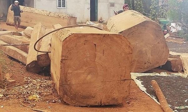 Đắk Nông: Làm rõ vụ khai thác trái phép gỗ Du Sam