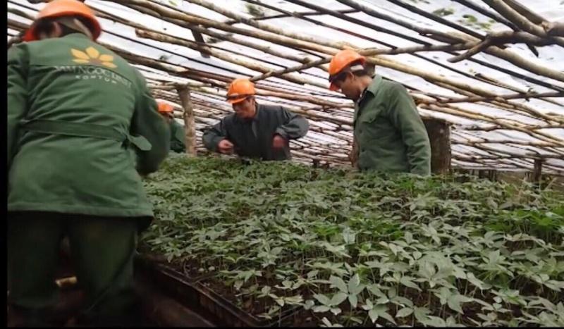 Kon Tum: Huyện Tu Mơ Rông phát huy tiềm năng cây dược liệu