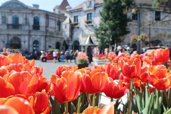 ba na ruc ro sac xuan voi 15 trieu bong hoa tulip dep long lay