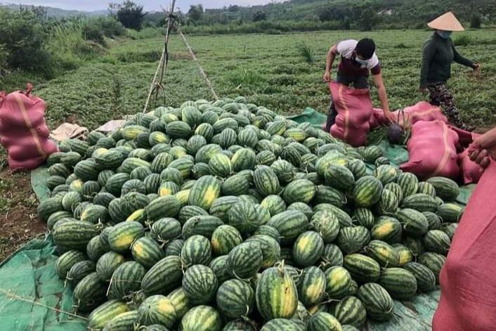 Phú Yên: Dưa hấu chín giữa mùa dịch, cảm ơn những vòng tay thân ái