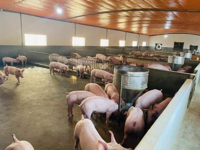 Giá lợn hơi ngày 26/9/2021: Đầu tháng 11, giá lợn tăng trở lại?