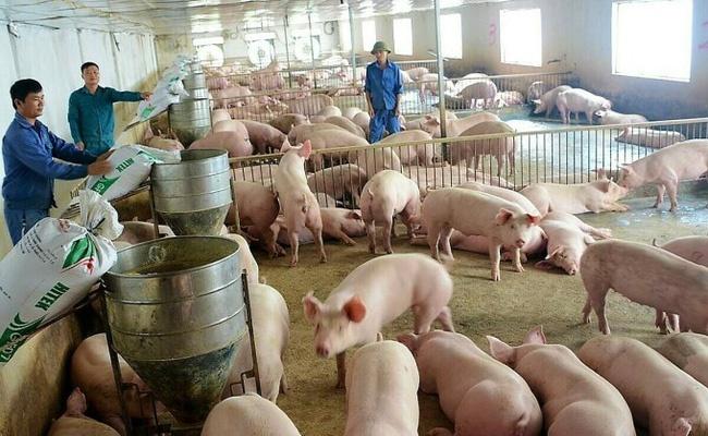 Giá lợn hơi giảm sâu, người chăn nuôi thất thu