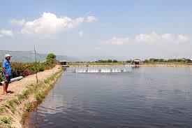 Bình Định: Tôm nuôi chết hàng loạt vì thời tiết bất thường