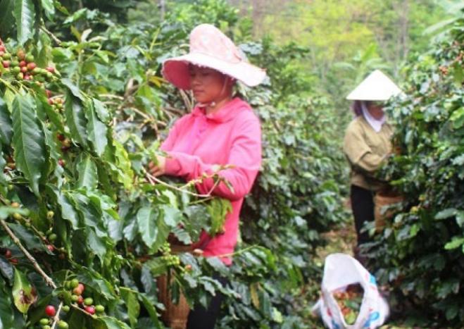 """Điện Biên: Mùa cà phê """"3 được"""" của người dân Mường Ảng"""
