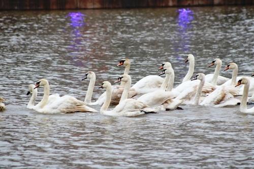 Hải Phòng: Sẽ thả thêm 30 con thiên nga xuống sông Tam Bạc