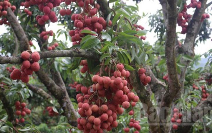 Kỹ thuật cho vải ra quả trên thân cây