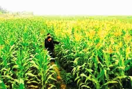 Chuyện Trạng Bùng đưa hạt giống ngô về Việt Nam