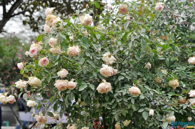 hong mau xanh la lan dau co trong le hoi hoa hong bulgaria 12125
