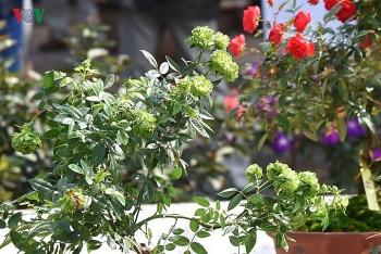 hong mau xanh la lan dau co trong le hoi hoa hong bulgaria