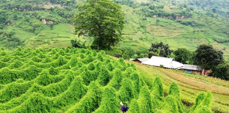 Mướp đắng rừng và triển vọng phát triển kinh tế ở vùng sâu biên giới tỉnh Hà Giang