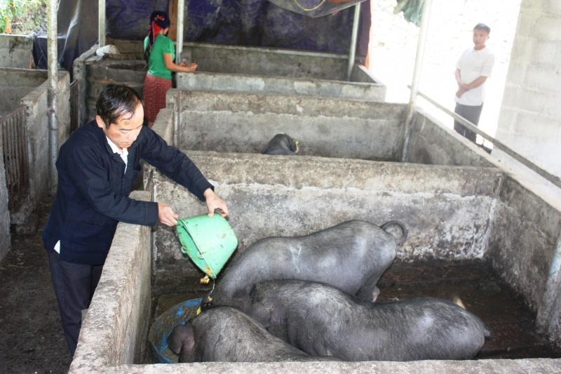 Anh Vừ Mí Pó thoát nghèo từ nuôi lợn đen